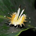 The dance of the Spangled Cupid ( Helicopis cupido )  - Leticia - Colombia by john  Lenagan
