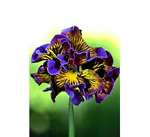 Shades of Frilly Pansy Photographic Print