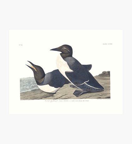 Common Murre - John James Audubon  Art Print