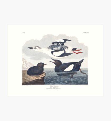 Black Guillemot - John James Audubon Art Print