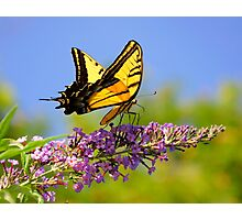 Two-tailed Swallowtail Butterfly Photographic Print