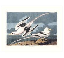 White-tailed Tropicbird - John James Audubon Art Print