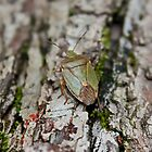 Green Shieeld Bug on Tree by AnnDixon