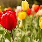 Springtime Tulips by SusanAdey