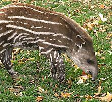 Tapir Calf by GreyFeatherPhot