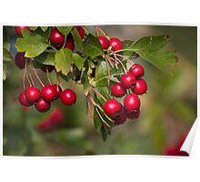 red berries in the garden Poster