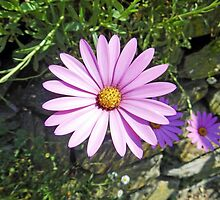Osteospermum - African Daisy, Pink by Rod Johnson