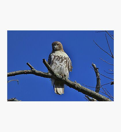 Juvenile Red-tailed Hawk Photographic Print