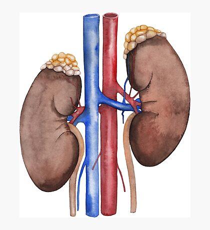 Watercolor kidney Photographic Print