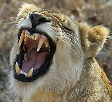 A very verbal lioness! by jozi1