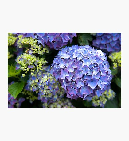 Blue-lilac hydrangeas (hortensias) Photographic Print