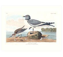 Sabine's Gull - John James Audubon  Art Print