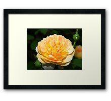 Light orange and yellow rose Framed Print