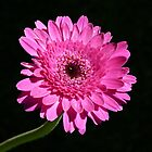 The Gerbera by Trish Meyer