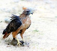 Hungry Red Teiled Hawk by Henrik Lehnerer