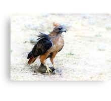 Hungry Red Teiled Hawk Canvas Print