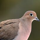 Mourning Dove by Debbie Oppermann