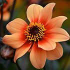 Flamboyant Dahlia. by Terence Davis