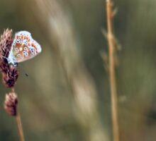 Brown Argus butterfly Sticker