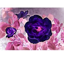 I Dream of Purple Roses... Photographic Print