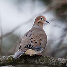 Mourning Dove Sitting Pretty by Debbie Oppermann
