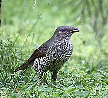 Female Bower BIrd by jansimpressions