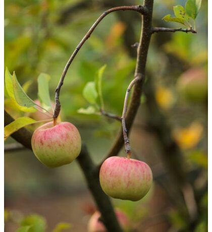 Closeup of ripe apples Sticker