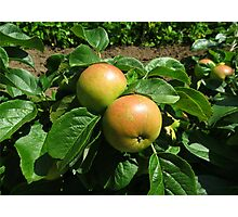 Apples Ripening In The Sunshine - Heligan Photographic Print