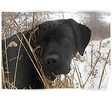 Late Season Hunt - Black Labrador Poster