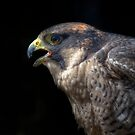 Peregrine Falcon by Nigel Bangert