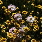 Paper Daisies  -Mixed- Yellow and Pink by Evita