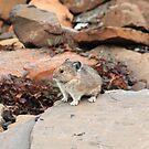 Pika among rocks by zumi