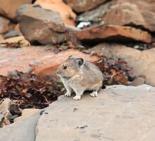 Pika among rocks by zumi
