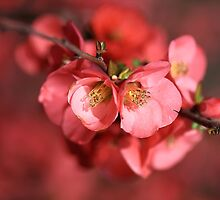 Flowering Quince by Joy Watson