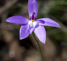 Waxlip Orchid - Glossodia major by Paul Piko