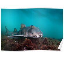 Port Jackson Shark, Montague Island, Australia Poster