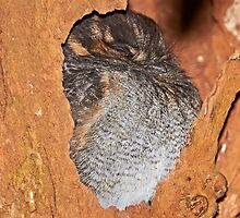 "Australian Owlet-Nightjar ~ ""Sweet Dreams"" by Robert Elliott"