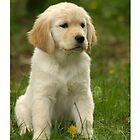 Golden Retriever! Puppy! by Vitalia