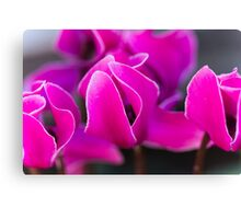 cyclamen in the garden Canvas Print