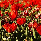 Floriade, Canberra by SusanAdey