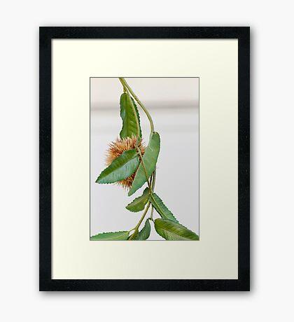 curly chestnut Framed Print