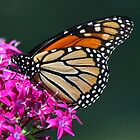 Monarch by Janice Carter