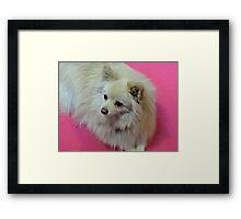 German Spitz: Hot Pink Framed Print