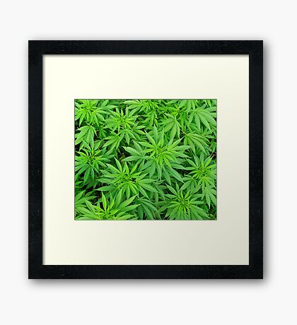 Marijuana Cannabis Weed Pot Plants Framed Print