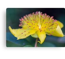 buttercup in the garden Canvas Print