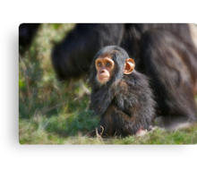 Baby Common Chimpanzee, Pan troglodytes Canvas Print