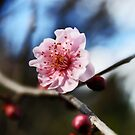 Sunlight On A Cherry Blossom  by Evita