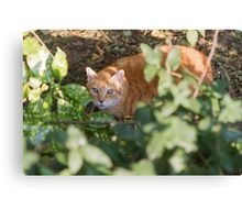 cat in the leaf Canvas Print