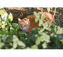 cat in the leaf Photographic Print