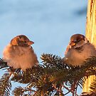 House Sparrows At Sunrise by Deb Fedeler